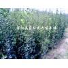 供应北海道黄杨、小叶黄杨、西府海棠、红叶李、法桐、栾树