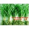 四川涪城麦冬繁育基地,批发优质重庆绿化麦冬草、川麦冬药材种苗