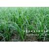 中国最大园林绿化麦冬草基地,常年批发优质麦冬草