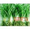 四川涪城麦冬繁育基地,批发优质麦冬、麦冬草、麦冬种苗