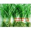 麦冬基地,批发供应优质绿化麦冬草坪