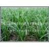四川三台麦冬繁育基地,批发供应重庆绿化麦冬草坪