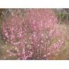 供应榆叶梅、木槿、法国冬青、连翘