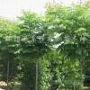 供应优质绿化苗木品种树 【栾树】庭阴树行道树首