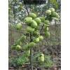 必威APP官网木瓜树、木瓜成品苗