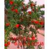 牡丹花石榴树苗、蒙阳红石榴、泰山红石榴、大红袍石榴