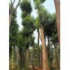 成都苗木 宏达苗圃长期供应各种绿化苗木--香樟