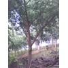 供应各种规格嫁接银杏树