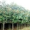供应大规格苗木:辛夷树、各种玉兰、栾树、五角枫、白皮松、黄栌
