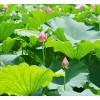 供应荷花、睡莲、水葱、菖蒲、千屈菜等水生植物