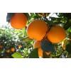 苗圃出售甜橙树
