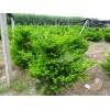 东北红豆杉苗,营养杯红豆杉,红豆杉种子,红豆杉药用价值